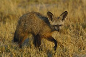 Pete Oxford - Bat-eared Fox portrait, Africa