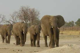 Pete Oxford - African Elephant herd walking in a line, Africa