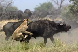 Pete Oxford - African Lion attacking Cape Buffalo , Africa