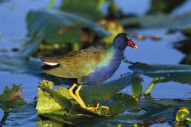 Tom Vezo - Purple Gallinule standing on lily pads, Everglades National Park, Florida