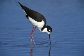 Tom Vezo - Black-necked Stilt foraging for food, California