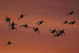 Tom Vezo - Canvasback duck, flock coming in to land, sunrise, Long Island, New York