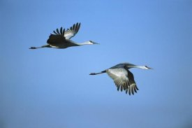 Tom Vezo - Sandhill Crane pair flying, Bosque del Apache NWR, New Mexico