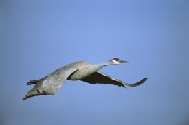 Tom Vezo - Sandhill Crane flying, Bosque del Apache NWR, New Mexico
