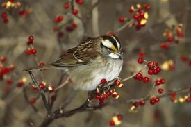 Tom Vezo - White-throated Sparrow in Bittersweet bush, Long Island, New York