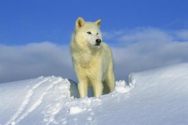 Tom Vezo - Arctic Wolf portrait of white wolf in the snow, Idaho