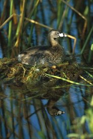 Tom Vezo - Pied-billed Grebe on nest in wetland, Rio Grande Valley, Texas