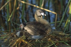Tom Vezo - Pied-billed Grebe parent with calling chick on nest, Rio Grande Valley, Texas