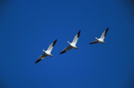Tom Vezo - Snow Geese flying in formation, Bosque del Apache NWR, New Mexico