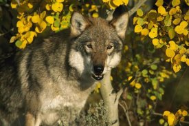 Tom Vezo - Timber Wolf portrait among aspen leaves, Teton Valley, Idaho