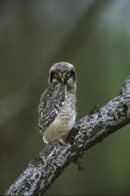Tom Vezo - Northern Hawk Owl chick, Saskatchewan, Canada