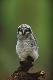 Tom Vezo - Northern Hawk Owl chick portrait, Saskatchewan, Canada