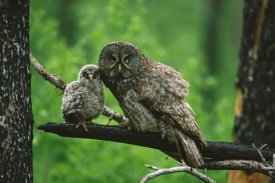 Tom Vezo - Great Gray Owl adult with chick, Saskatchewan, Canada