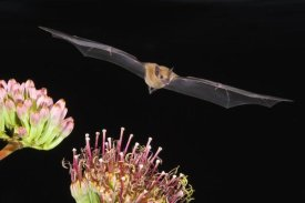 Tom Vezo - Lesser Long-nosed Bat flying at night, North America