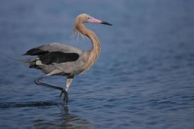 Tom Vezo - Reddish Egret wading through shallow water, Rio Grande Valley, Texas