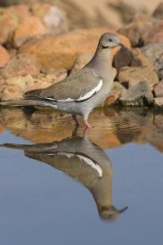 Tom Vezo - White-winged Dove wading in puddle, Green Valley, Arizona
