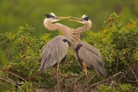 Tom Vezo - Great Blue Heron pair interacting on nest in mangroves, Venice, Florida