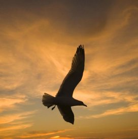 Tom Vezo - Mew Gull silhouetted at sunset in La Jolla, California