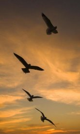 Tom Vezo - Mew Gull group silhouetted at sunset in La Jolla, California