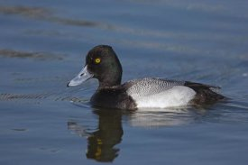 Tom Vezo - Lesser Scaup male, North America