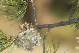 Tom Vezo - Plumbeous Vireo begging in nest, White Mountains, Arizona