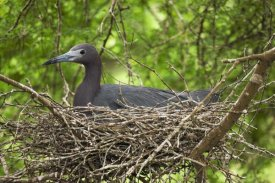 Tom Vezo - Little Blue Heron on nest, Rio Grande Valley, Texas