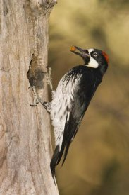 Tom Vezo - Acorn Woodpecker female bringing food to nest, Madera Canyon, Arizona