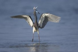 Tom Vezo - Tricolored Heron landing, Rio Grande Valley, Texas