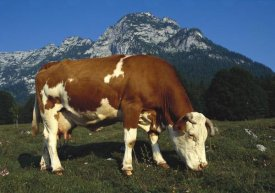 Heidi and Hans-Juergen Koch - Cow grazing in field in Berchtesgadener Land, Bavaria, southern Germany