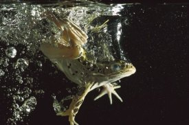 Heidi and Hans-Juergen Koch - Northern Leopard Frog jumping into water, native to North America