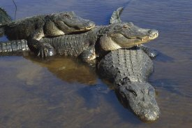 Heidi and Hans-Juergen Koch - American Alligator three adults, laying in shallow water, Florida