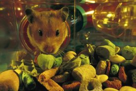 Heidi and Hans-Juergen Koch - Golden Hamster looking into its food store in its habitrail system