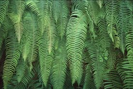 Colin Monteath - Ferns hanging over trail, Jogidanda, Kangchenjunga, east Nepal