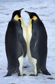 Colin Monteath - Two Emperor Penguina face to face, Riiser-Larson Rookery, Antarctica
