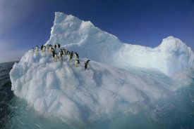 Colin Monteath - Adelie Penguina on sculpted iceberg, Terre Adelie Land, east Antarctica