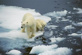 Ingrid Visser - Polar Bear mother with two cubs on pack-ice, Arctic