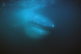 Hiroya Minakuchi - Blue Whale filter feeding,  Sea of Cortez, Mexico