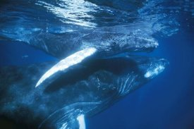 Hiroya Minakuchi - Humpback Whale and calf in breeding grounds, Silver Bank, Dominican Republic