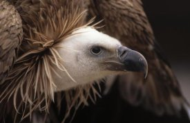 Duncan Usher - Griffon Vulture adult portrait, Europe
