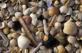 Jan Vermeer - Selection of bivalve shells