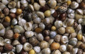 Duncan Usher - Flat Topshells, Common Northern Whelk, and Common Periwinkle shells