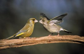 Duncan Usher - European Greenfinch male and female, Europe