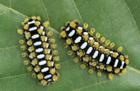Ingo Arndt - Cup Moth two caterpillars on leaf