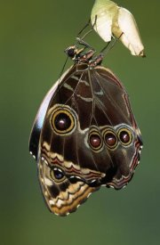 Ingo Arndt - Blue Morpho butterfly, adult emerging from chrysalis