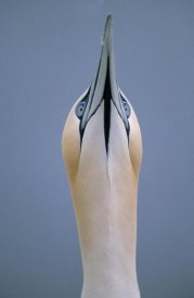 Duncan Usher - Northern Gannet skypointing during courtship display, Europe