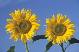 Ingo Arndt - Common Sunflower pair of flowers against blue sky, Europe