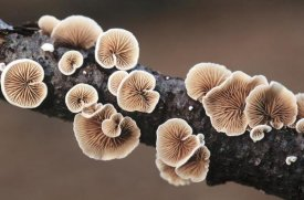 Jan Vermeer - Split Gill Fungus growing on branch