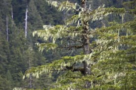 Konrad Wothe - Spruce covered with bearded lichens, Mitkof Island, southeast Alaska