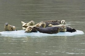 Konrad Wothe - Harbor Seal group on icefloe, Alaska