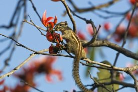 Konrad Wothe - Five-striped Palm Squirrel in tree, Guindy National Park, India